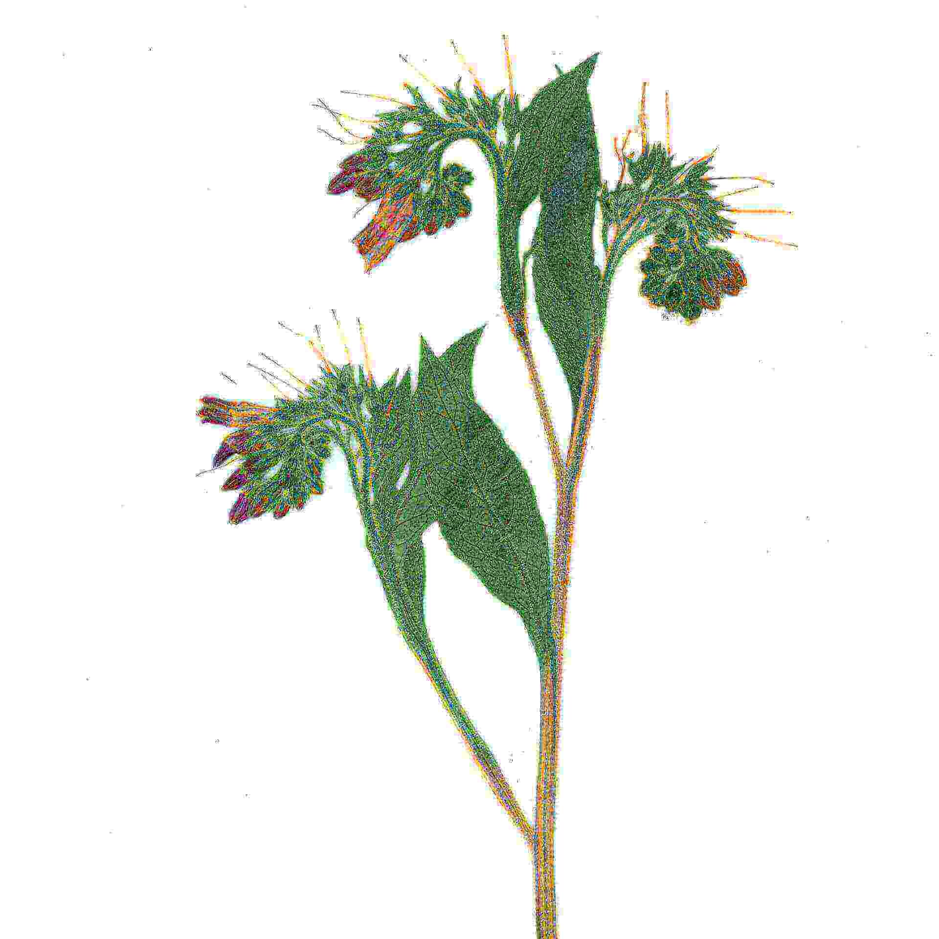 herbarium_beinwell_02